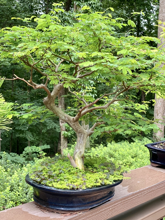 Bonsai Brazilian Rain Tree