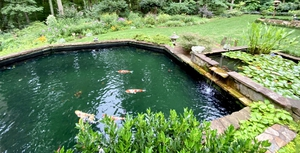 Large koi pond