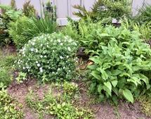 Cranesbill geranium and Mountain Fleece come into their own duri