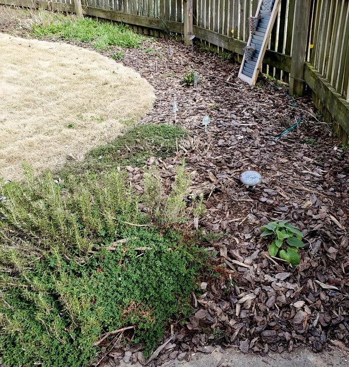 Some evergreen herbs remain in winter