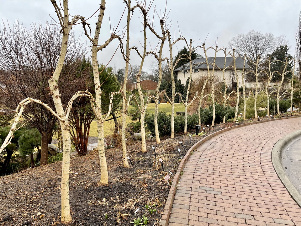 Trees are trimmed in the winter