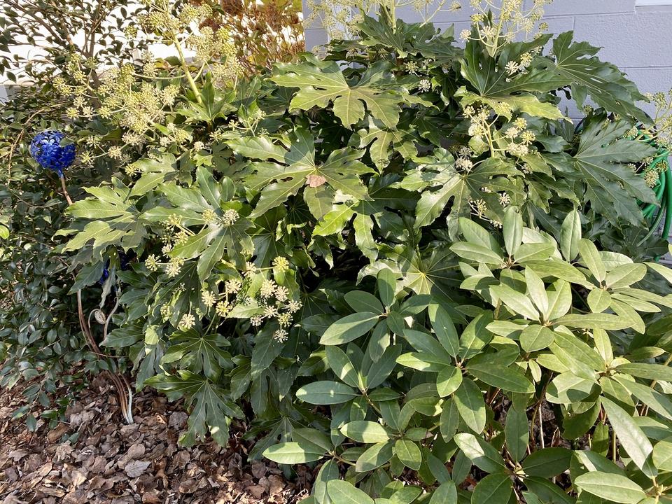 Fatsia in bloom, late fall