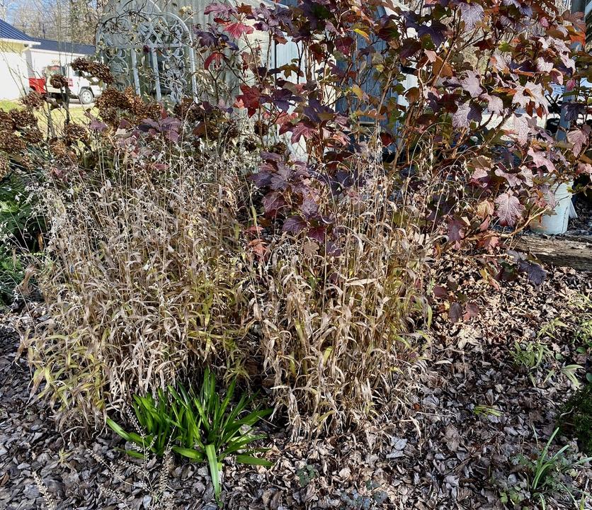 Oak leaf hydrangeas are good year round plants