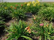 Daylily Society Garden sign