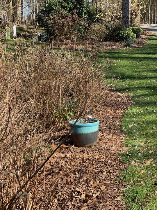Hydrangeas are bare in the winter
