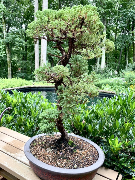 Bonsai Junipers