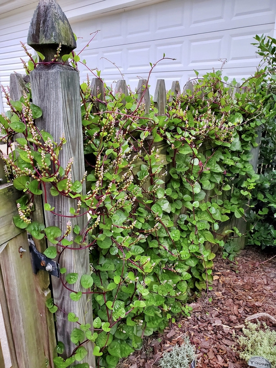 Late summer with Malabar spinach in bloom