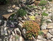 Rock garden ice plant