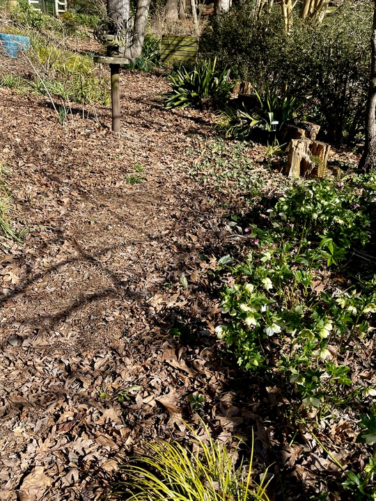Late winter with hellebores blooming