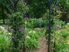 Clematis vine in the daylily garden