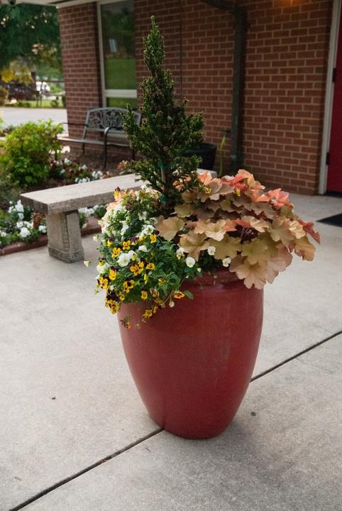 A container arrangement of petunias, heuchera and cedar.