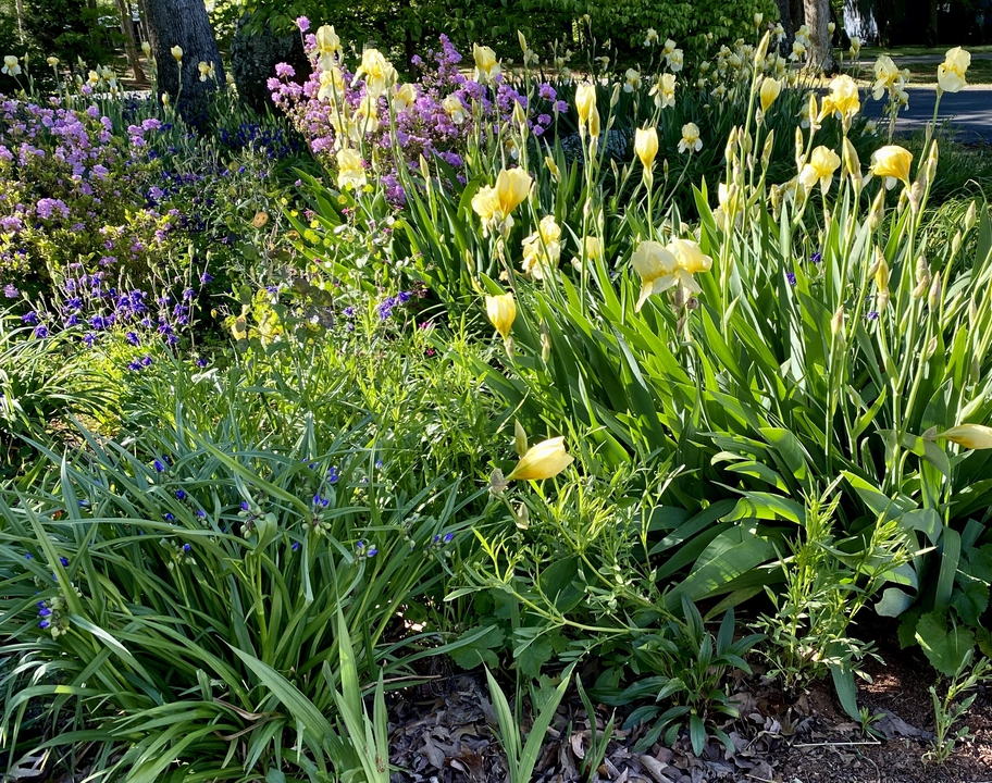 Yellow Iris in spring bed