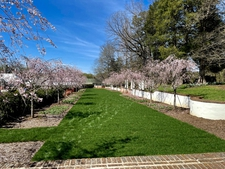 Ornamental cherry tree avenue