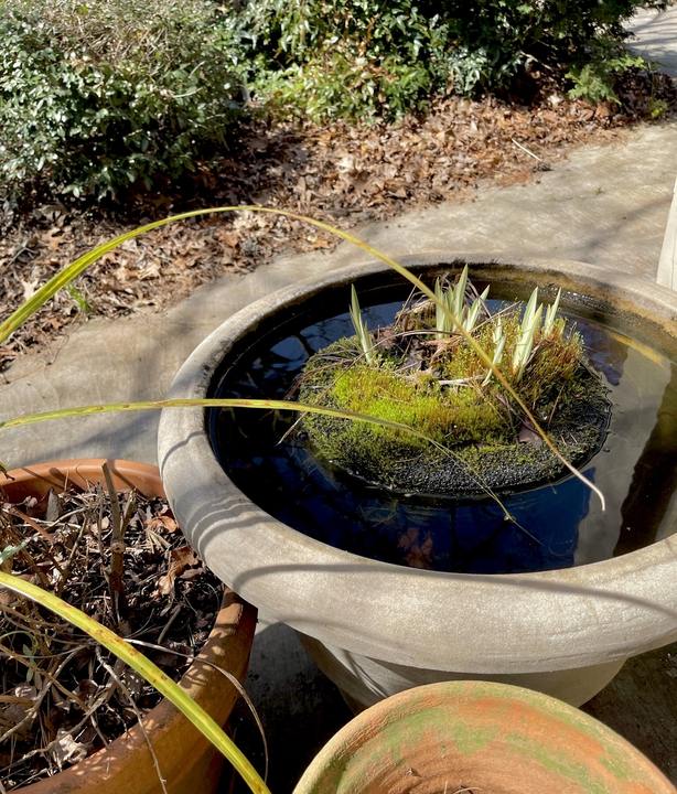New iris tips emerging