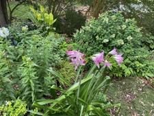Crinum lily, phlox