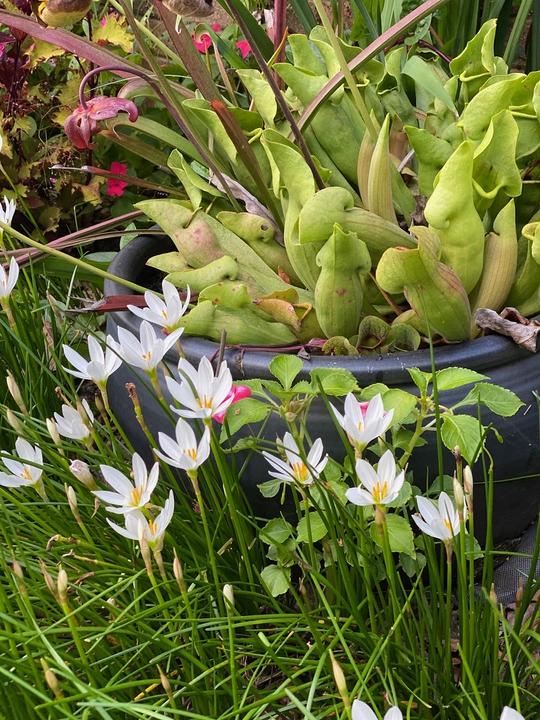 Rain lilies in bloom