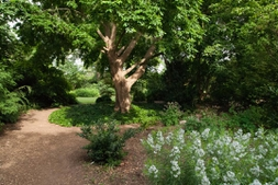 the JC raulston shade garden under Tonkin wingnut tree