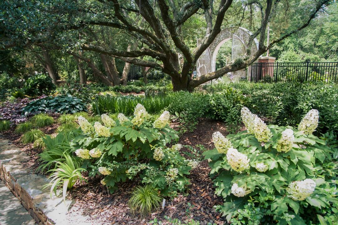 Oak leaf Hydrangeas in bloom in the JCRA shade garden