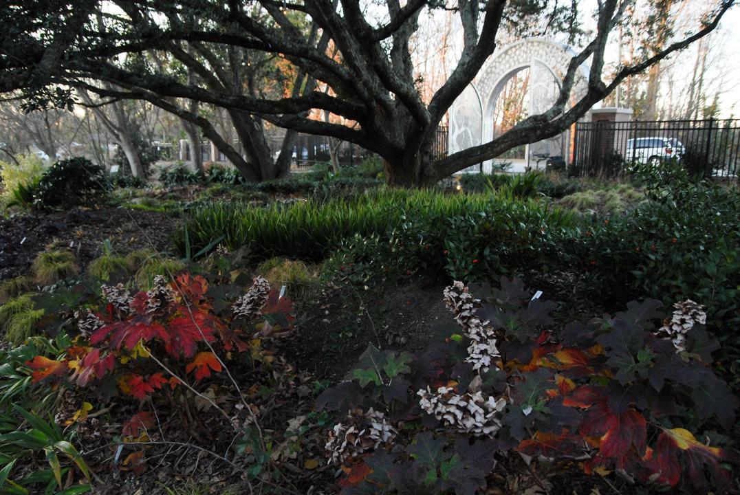 Oak leaf Hydrangeas during winter in the JCRA shade garden
