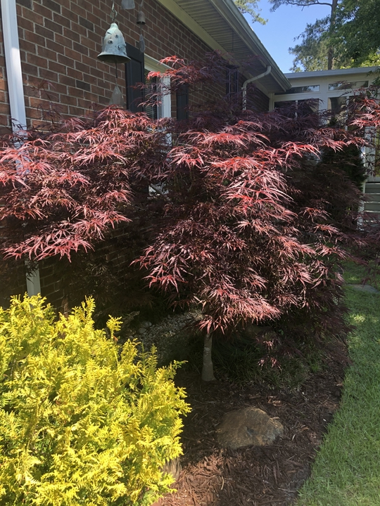Acer palmatum var. dissectum 'Tamukeyama' with Gold Mop