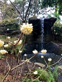 Photograph O: Mystic Waterfall with Edgeworthia chrysantha