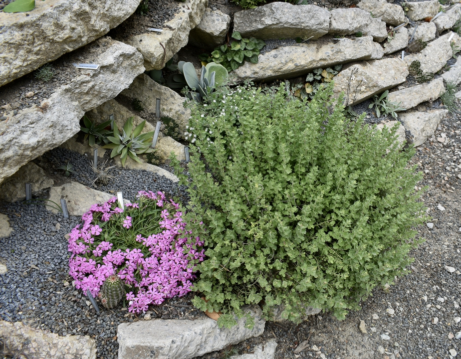 Crevice Garden in spring with Origanum syriacum and Phlox