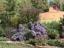 Mid October brings the asters