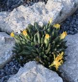 Crevice Garden with Rabiea albinota (Cactus) form