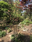 Photograph C: Garden with Rhododendron 'Julius Kingsley'