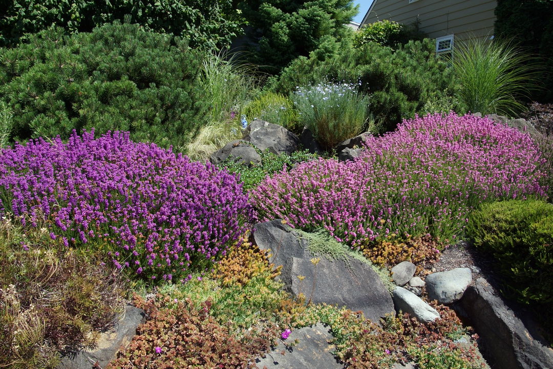 A drought tolerant rock garden incorperating Heather