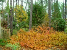 2009 fall color in a woodland garden in Moore County.