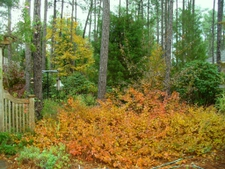 Fall color in a woodland garden in Moore County.