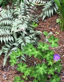 Japanese painted fern 'Silver Falls'