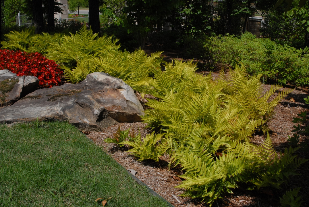 Mass planted ferns with yellow color brighten up a shade border.