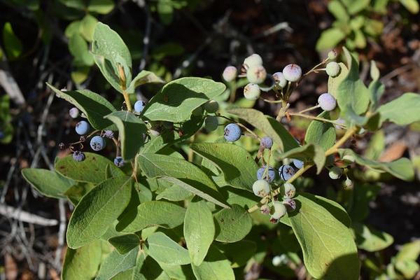 Gaylussacia frondosa var. tomentosa