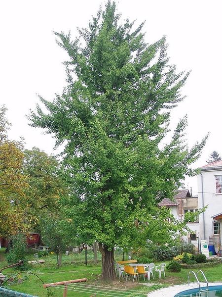 Ginkgo Biloba Ginkgo Maidenhair Tree North Carolina Extension