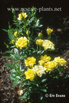 Rosa 'MELcupag'