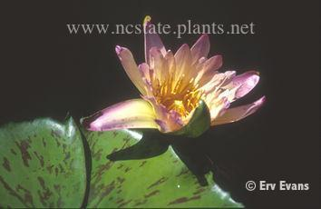 Nymphaea 'Green Smoke'