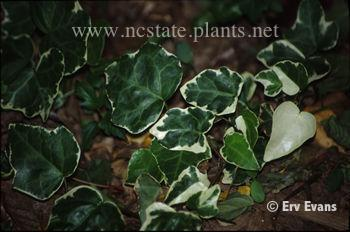 Hedera rhombea