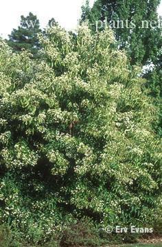 Heptacodium miconioides full