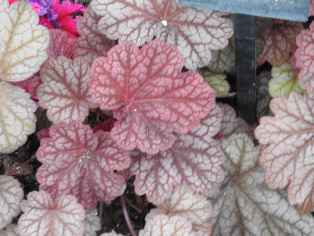 Purple-red leaves