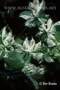 Humulus japonicus