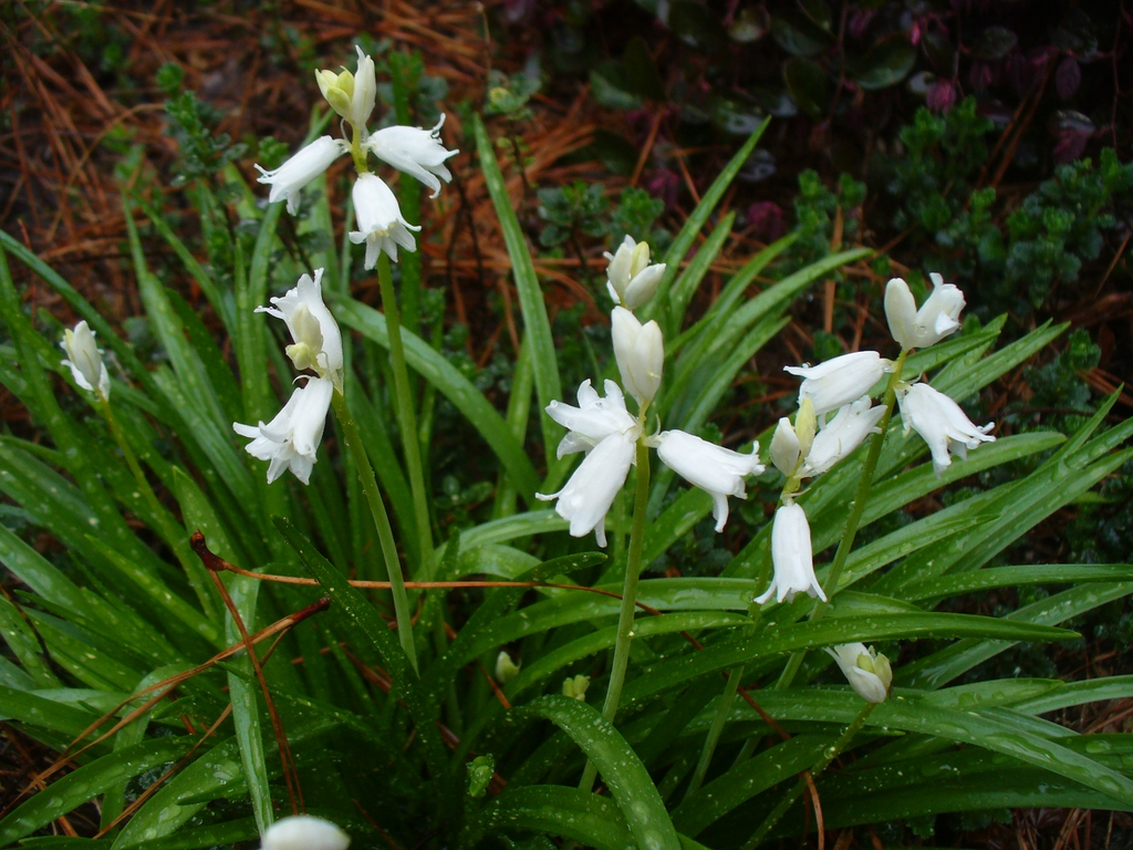Hyacinthoides hispanica white flowers in spring