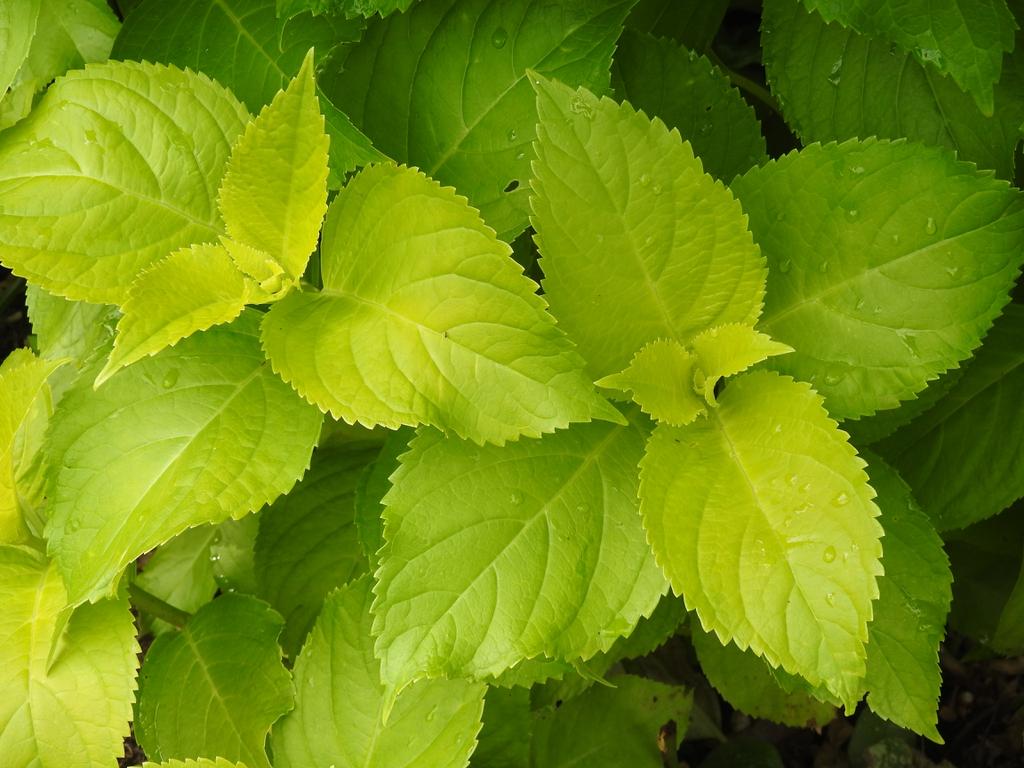 Hydrangea macrophyllya 'Lemon Daddy'