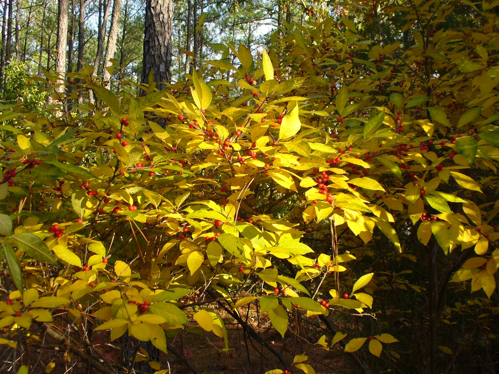 ilex verticulata in fall in Moore County