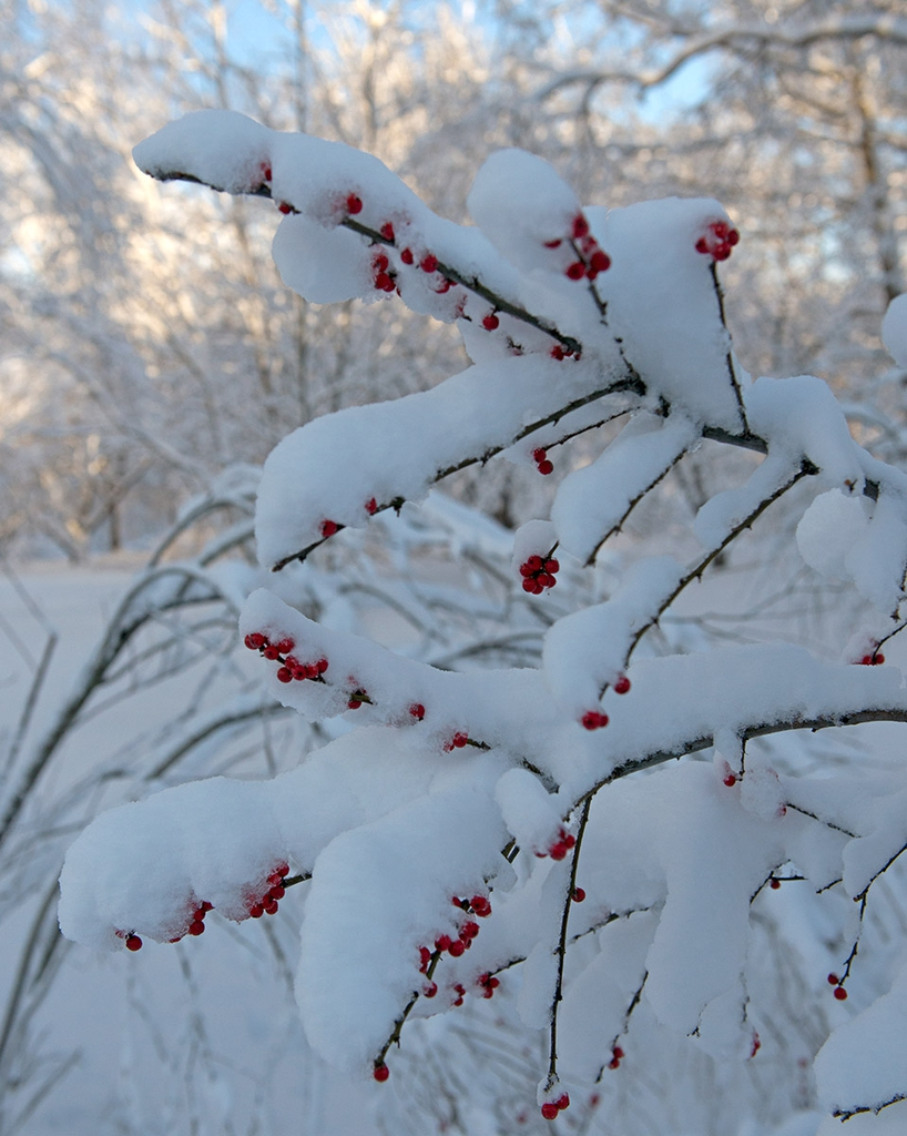 ilex verticillata fruit in snow