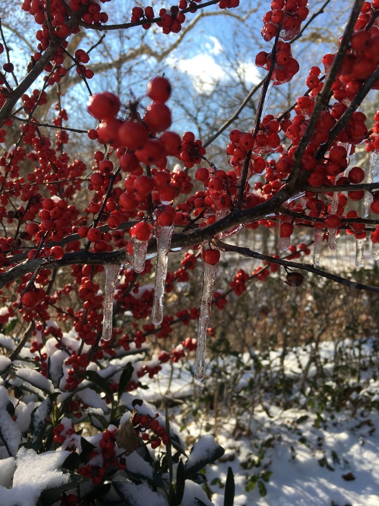 ilex verticillata fruit in snow and ice