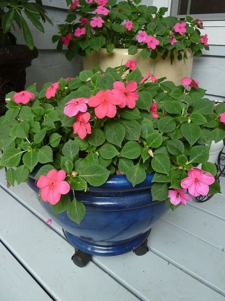 Impatiens wallerina
