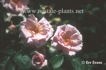 Rosa 'Inspiration'