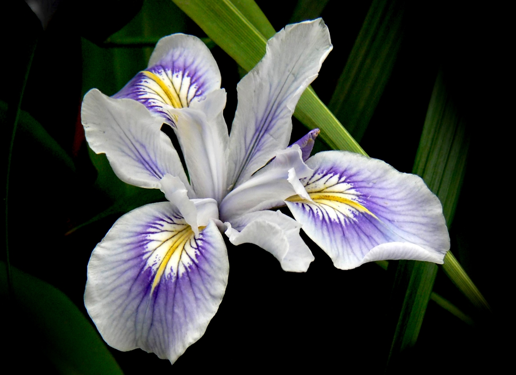 multicolored iris